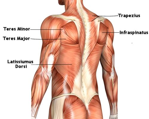 how to build upper back and traps
